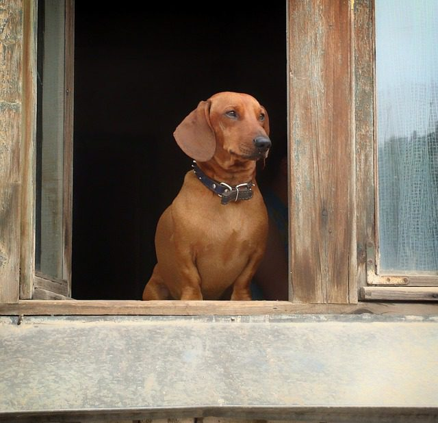 A Dachshund Looking Out of the Window