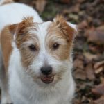 History and Character of The Jack Russell Terrier