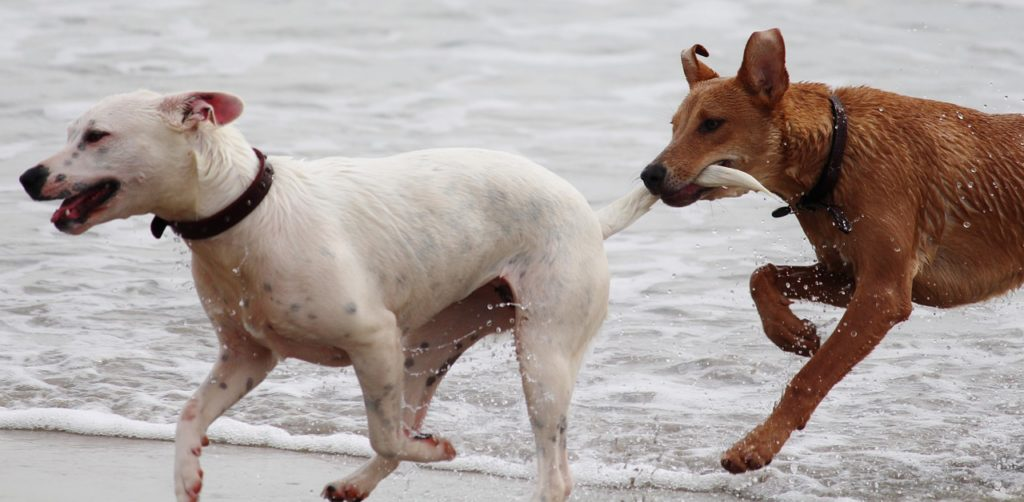 Dogs on the beach running