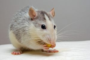 Facts about Rats that you would never guess