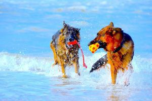German Shepherd dogs in water