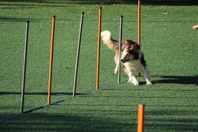 An adult Rough Collie running in between pipes or agility course