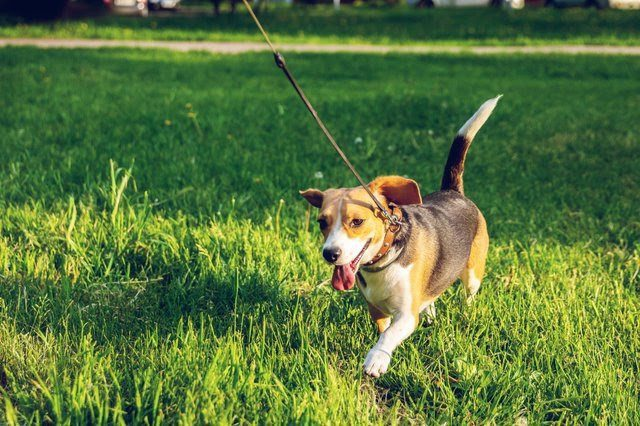 A brown and black Beagle on lead enjoying a walk on green grass