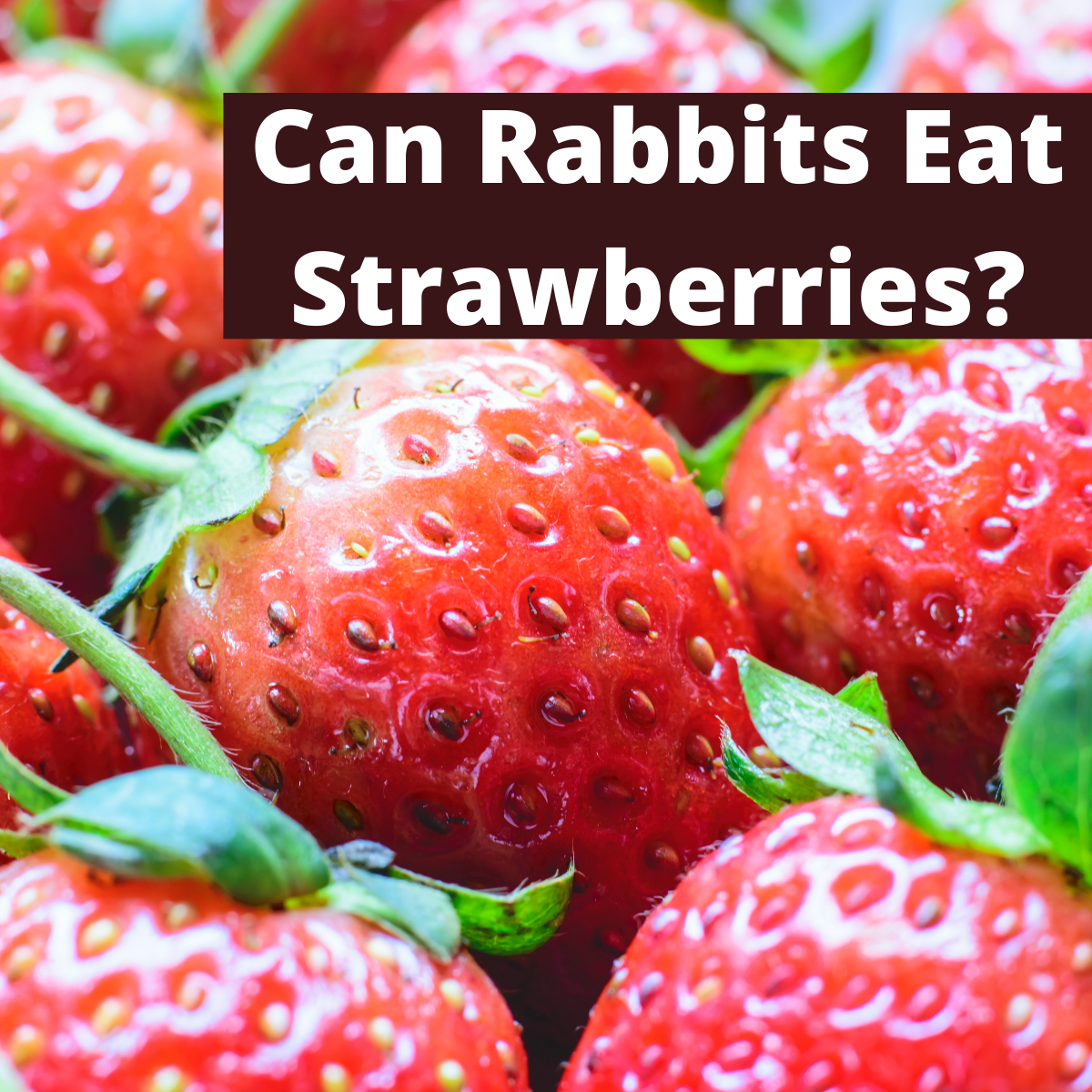 Strawberries and text Can Rabbits Eat Strawberries?