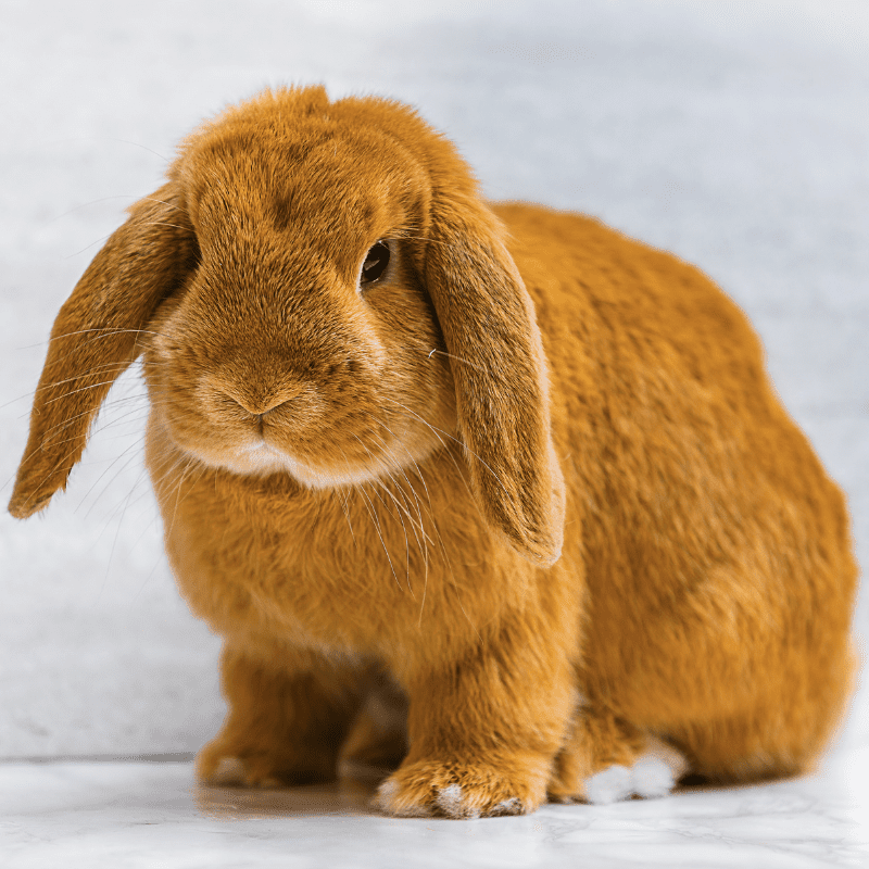 A brown adult Rabbit