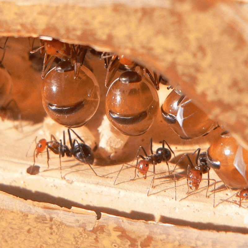 Honeypot ants hanging from the ceiling in a colony