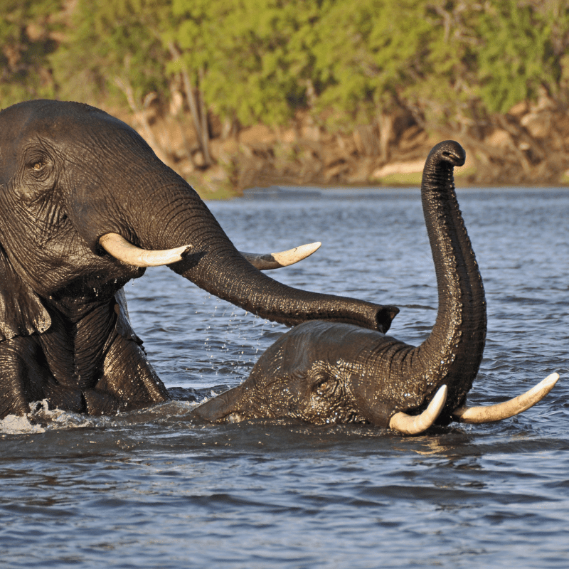 Mother elephant and a baby swimming