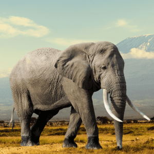 African Elephant with tusks and big ears