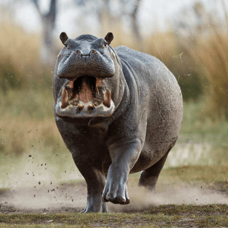 Aggressive Hippo with mouth open running towards camera
