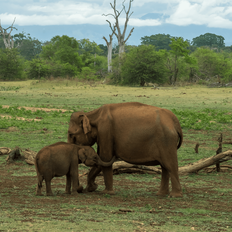 baby elephant wrapping trunk around it mother