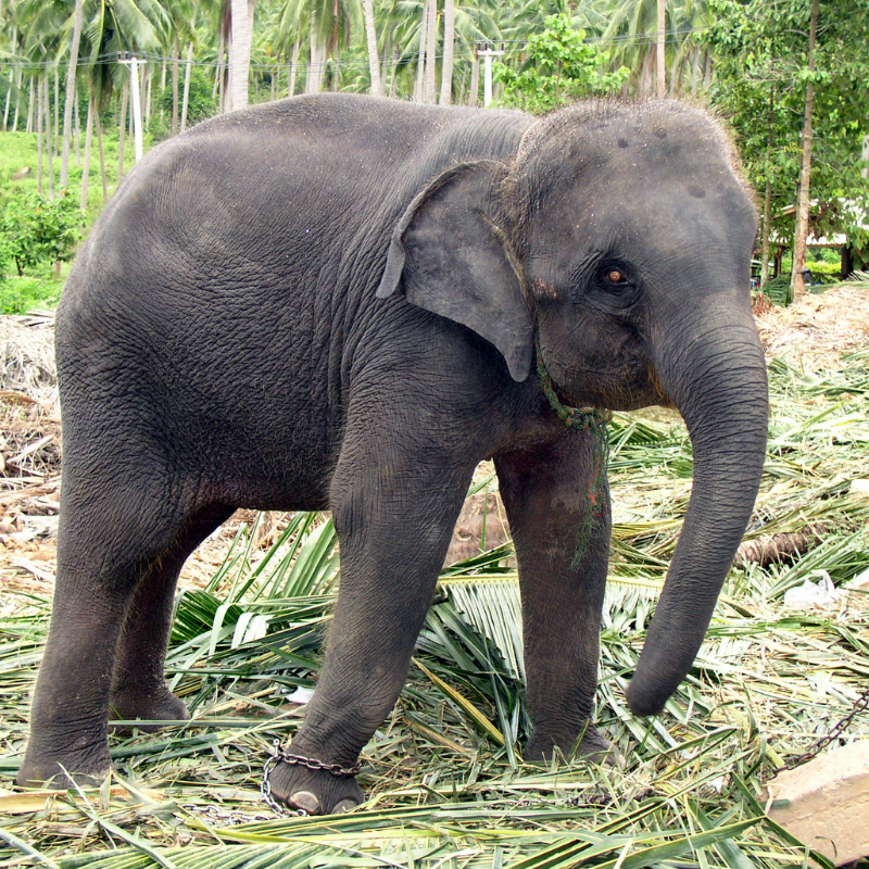 Indian Elephant with hairy head, back and trunk