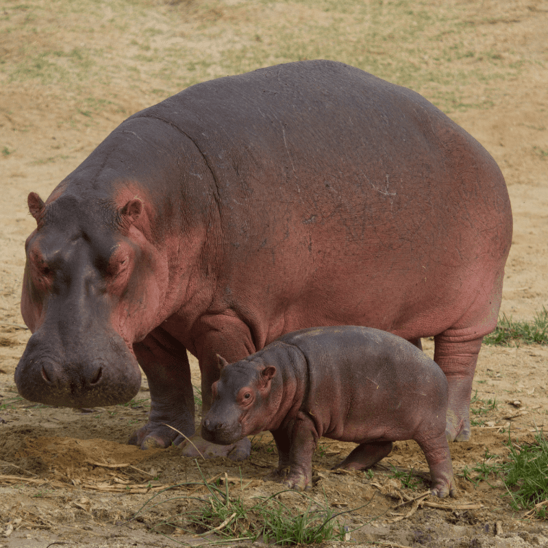 Adult hippo and a baby hippo standing up