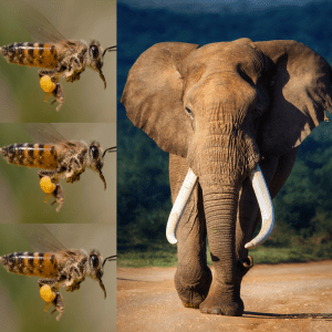 Three African honey bees and an African elephant