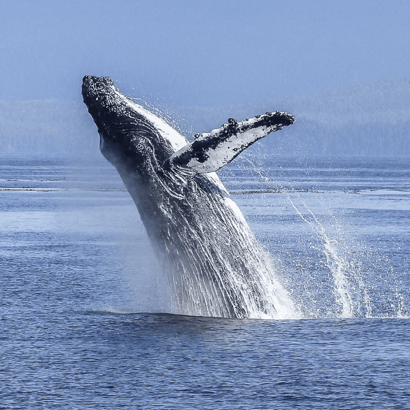 Whale half out of the sea, water spashing