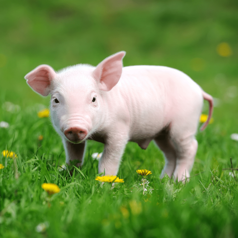 A cute piglet standing on some grass