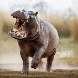 Aggressive hippo charging, mouth open