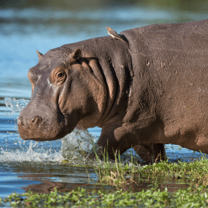 A hippo walking into the water with a bird on its back in South Africa