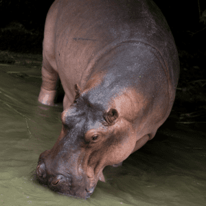 Hippo out in the night grazing