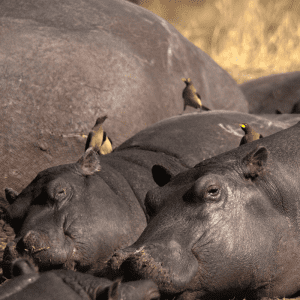 Oxpeckers birds on the back of Hippos at Khwai river