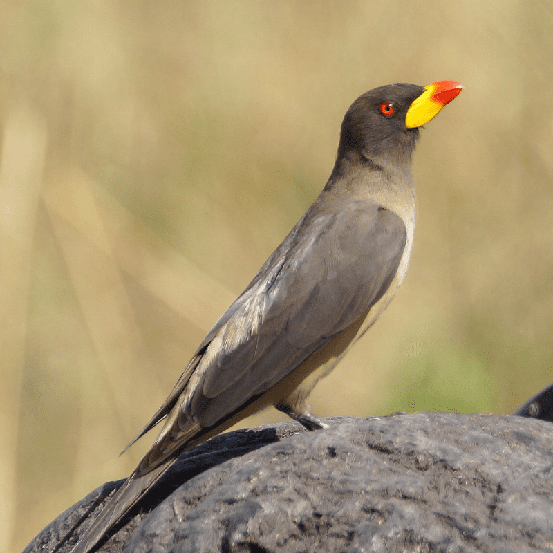Yellow-billed-Oxpecker