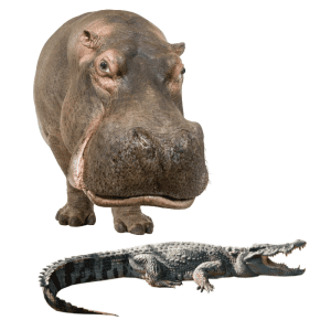 hippo and a crocodile on a white background
